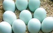 幸せを呼ぶ青い卵アロカーナって何?鶏?美味しいの??